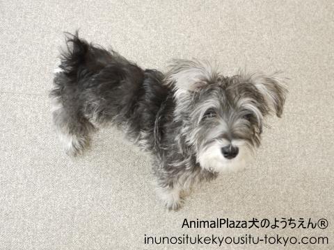犬のようちえん®駒沢公園教室 新しいお友達プッチ君