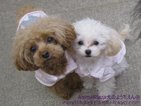 子犬のしつけ教室「犬のようちえん駒沢公園教室」 ごまちゃんとミルキーちゃん♪