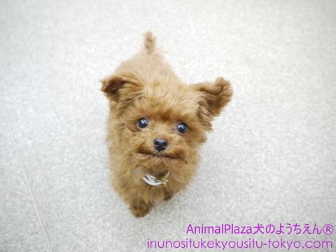 子犬のしつけ教室 犬のようちえん駒沢公園教室 モカちゃん