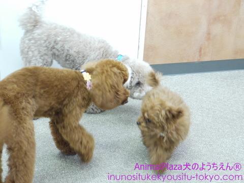 子犬のしつけ教室「犬のようちえん駒沢公園教室」 モカちゃんplay2