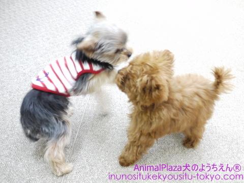 子犬のしつけ教室「犬のようちえん駒沢公園教室」 モカちゃんplay