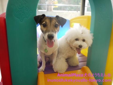 子犬のしつけ教室「犬のようちえん駒沢公園教室」きょうだい犬1