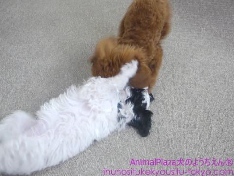 子犬のしつけ教室「犬のようちえん駒沢公園教室」ベベちゃん3