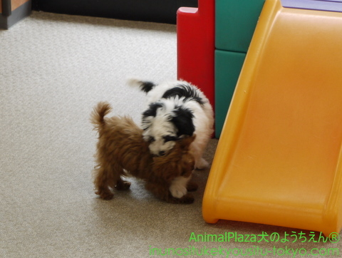 子犬のしつけ教室「犬のようちえん駒沢公園教室」ベベちゃん2