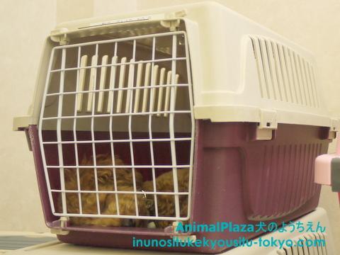 子犬のしつけ教室「犬のようちえん駒沢公園教室」ハウストレーニング5