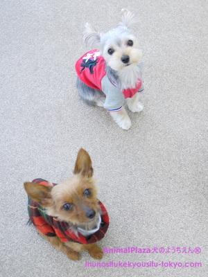 子犬のしつけ教室「犬のようちえん®駒沢公園教室」きょうだい犬3
