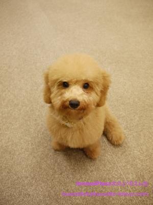 子犬のしつけ教室「犬のようちえん駒沢公園教室」ミニヨンくん1
