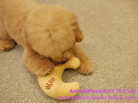 子犬のしつけ教室「犬のようちえん駒沢公園教室」ミニヨンくん2