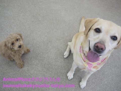 子犬のしつけ教室「犬のようちえん®駒沢公園教室」きょうだい犬4