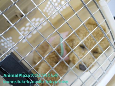 子犬のしつけ教室「犬のようちえん駒沢公園教室」ハウストレーニング2