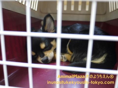 子犬のしつけ教室「犬のようちえん駒沢公園教室」ハウストレーニング1