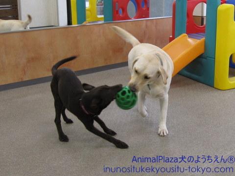 子犬のしつけ教室「犬のようちえん駒沢公園教室」梅雨の過ごし方1