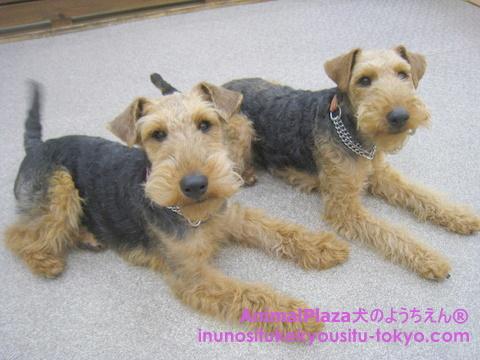 子犬のしつけ教室「犬のようちえん®駒沢公園教室」きょうだい犬1