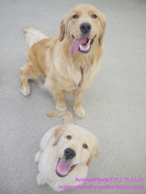 子犬のしつけ教室「犬のようちえん®駒沢公園教室」きょうだい犬2