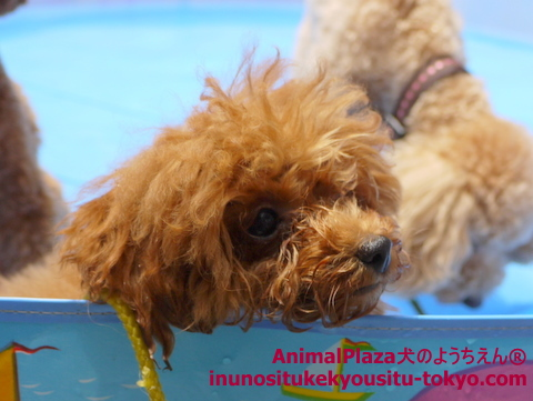 子犬のしつけ教室「犬のようちえん駒沢公園教室」プール2