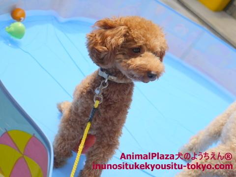 子犬のしつけ教室「犬のようちえん駒沢公園教室」プール3