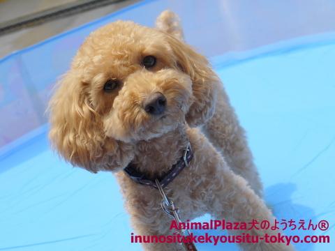 子犬のしつけ教室「犬のようちえん駒沢公園教室」プール4