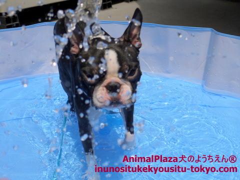 子犬のしつけ教室「犬のようちえん駒沢公園教室」プール7