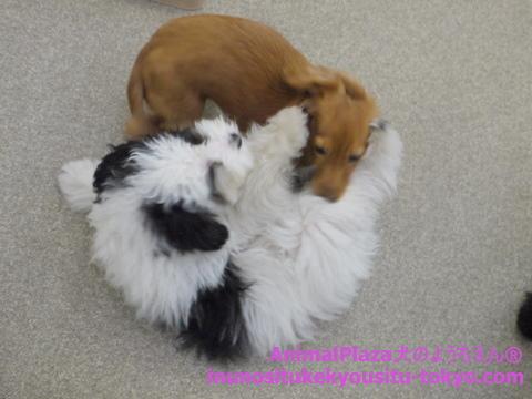 子犬のしつけ教室「犬のようちえん駒沢公園教室」子犬の遊び方3