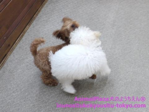 子犬のしつけ教室「犬のようちえん駒沢公園教室」子犬の遊び方2