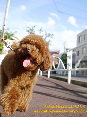 子犬のしつけ教室「犬のようちえん駒沢公園教室」夏のお散歩1