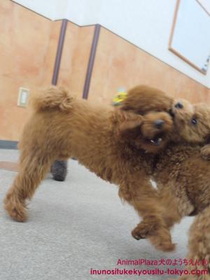 子犬のしつけ教室「犬のようちえん駒沢公園教室お泊りサービス