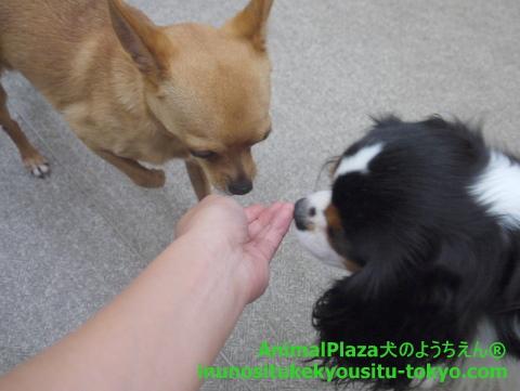子犬のしつけ教室「犬のようちえん駒沢公園教室」光くん