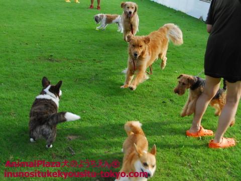 子犬のしつけ教室「犬のようちえん駒沢公園教室」プール5