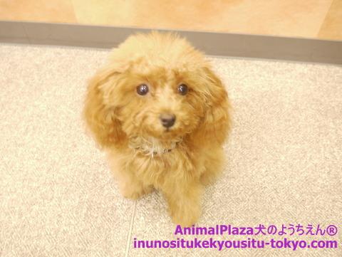 子犬のしつけ教室「犬のようちえん駒沢公園教室」チョコたん1
