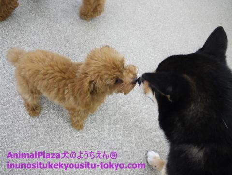 子犬のしつけ教室「犬のようちえん駒沢公園教室」八太郎くん2