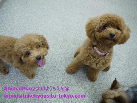 子犬のしつけ教室「犬のようちえん駒沢公園教室」八太郎くん3