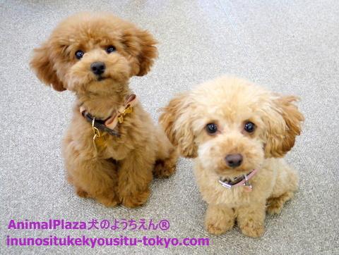 子犬のしつけ教室「犬のようちえん駒沢公園教室」チョコたん2
