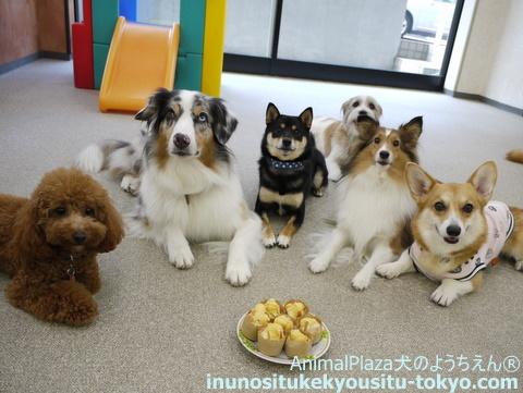 子犬のしつけ教室「犬のようちえん駒沢公園教室」チェルシーちゃん