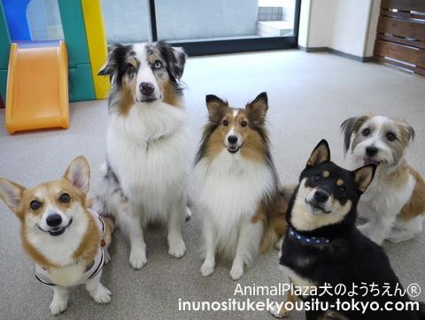 子犬のしつけ教室「犬のようちえん駒沢公園教室」チャルシーちゃん