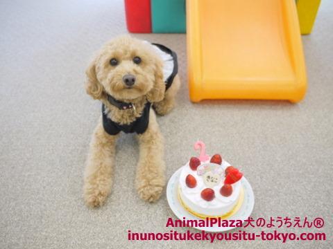 子犬のしつけ教室「犬のようちえん駒沢公園教室」きなこちゃん誕生日6