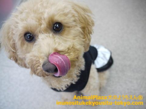 子犬のしつけ教室「犬のようちえん駒沢公園教室」きなこちゃん誕生日5
