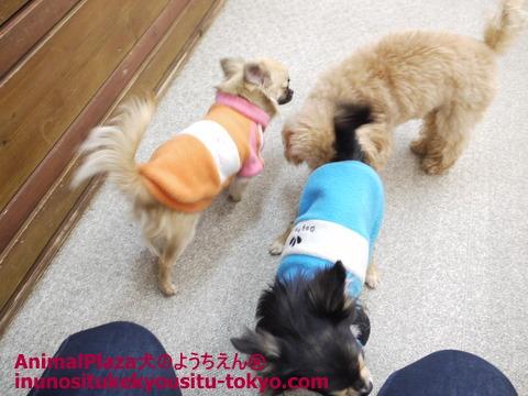 子犬のしつけ教室「犬のようちえん駒沢公園教室」チワワのこはるちゃんうるふくん