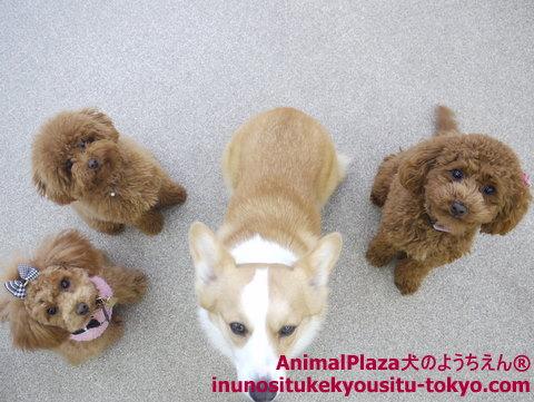 子犬のしつけ教室「犬のようちえん駒沢公園教室」レディ・ナナちゃん