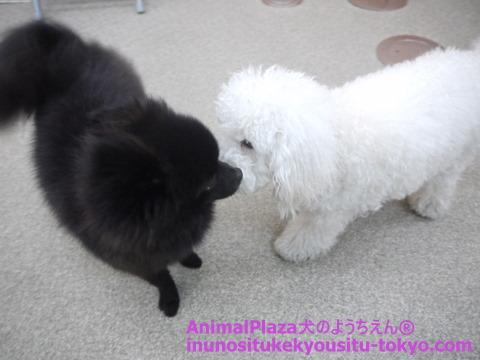 子犬のしつけ教室「犬のようちえん駒沢公園教室」さんぼくん