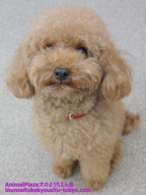 子犬のしつけ教室「犬のようちえん駒沢公園教室」モーリー忠勝くん