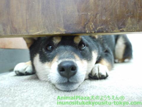 子犬のしつけ教室「犬のようちえん駒沢公園教室」ようちえん生のお散歩♪