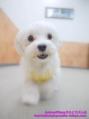 子犬のしつけ教室「犬のようちえん駒沢公園教室」マルくん