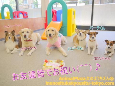 子犬のしつけ教室「犬のようちえん駒沢公園教室」さくらちゃん