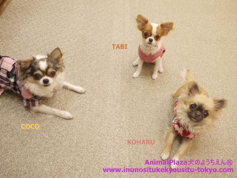 子犬のしつけ教室「犬のようちえん駒沢公園教室」タビちゃん
