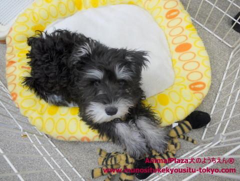 子犬のしつけ教室「犬のようちえん駒沢公園教室」ミニチュア・シュナウザーハリーくん