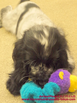 子犬のしつけ教室「犬のようちえん駒沢公園教室」イングリッシュコッカースパニエル・エディーくん