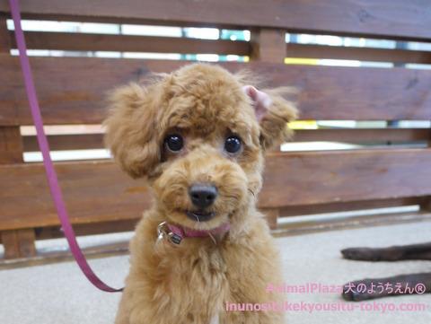 子犬のしつけ教室「犬のようちえん駒沢公園教室」トイ・プードル桃ちゃん