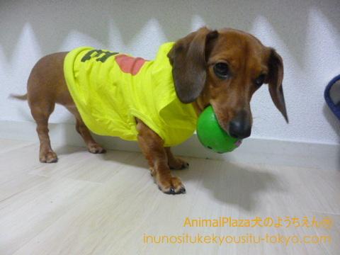 子犬のしつけ教室「犬のようちえん駒沢公園教室」犬にレインコートを着せるために必要な練習方法