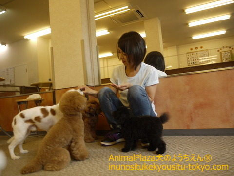 子犬のしつけ教室「犬のようちえん駒沢公園教室」トイ・プードルのプリ子ちゃん