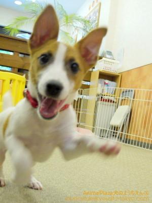 子犬のしつけ教室「犬のようちえん駒沢公園教室」ジルちゃん